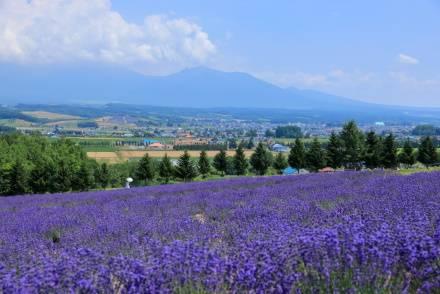 【関東・北海道発】人気ラベンダー畑に行けるバスツアーを紹介。一緒に巡れる観光地の情報も