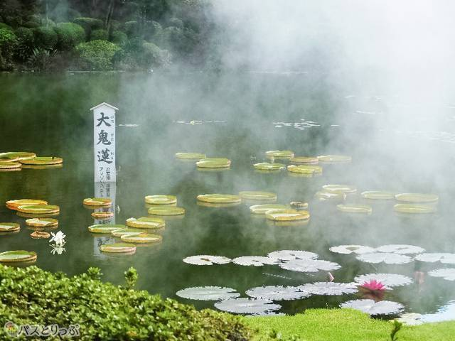 日本一大きな「大鬼蓮」。8月には子どもが葉の上に乗れるイベントも