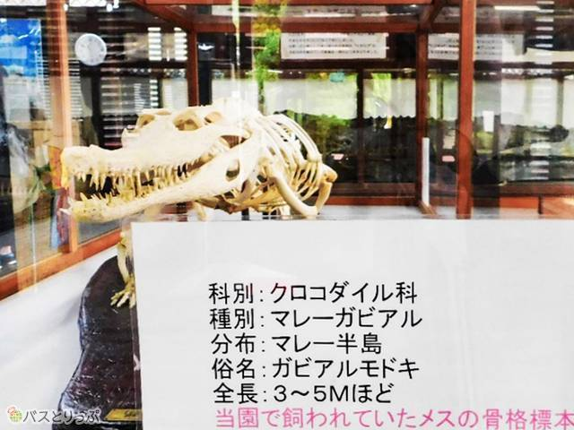 屋内には子ワニの水槽のほか、ワニの骨格標本やはく製も