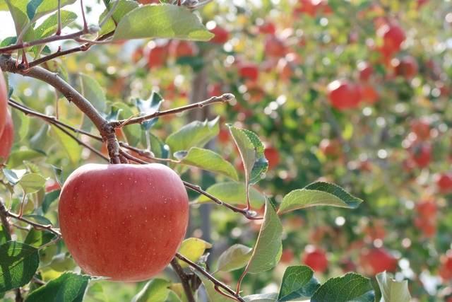 りんご狩り.jpg